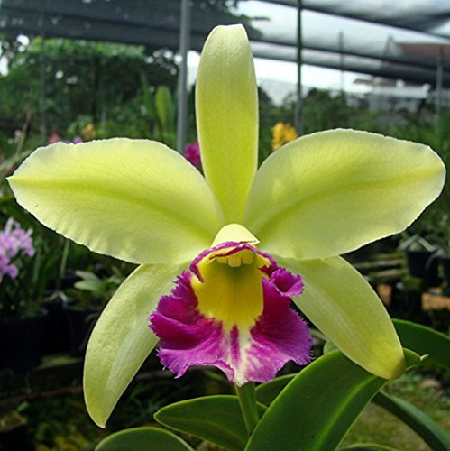 Orchid_Blc._Tain_5863f90a6ea89.jpg